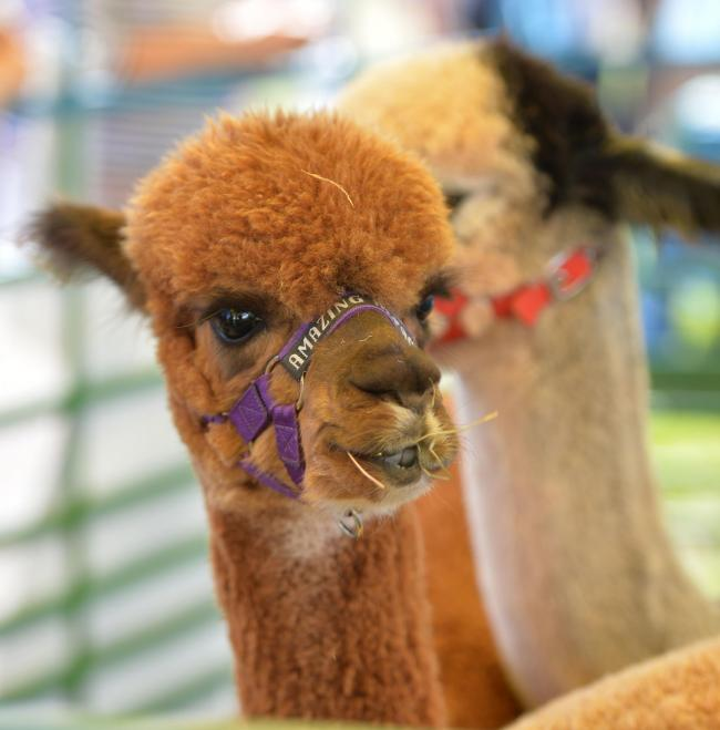 Amazing alpacas will be on show in Carmarthen