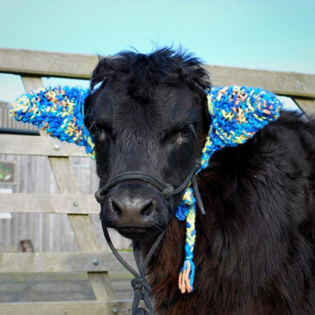 "Barney the Bug farm's much loved calf keeping warm in his ""moo muffs""."