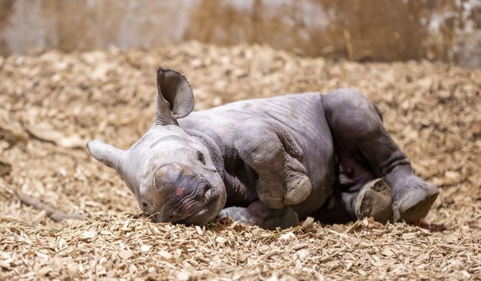 Folly Farm's new baby rhino is born to mum Dakima after her 15-month pregnancy