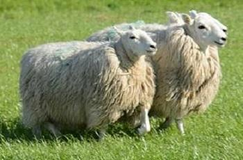 Farmer's appeal after sheep theft (Stock picture)