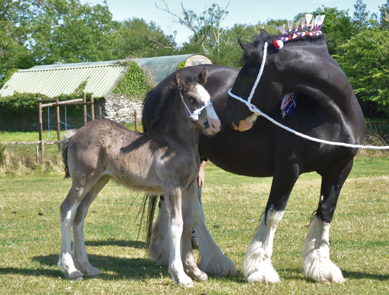 Hm The Queen Names New Foal At Dyfed Shire Horse Farm Dyfed Guinevere Western Telegraph