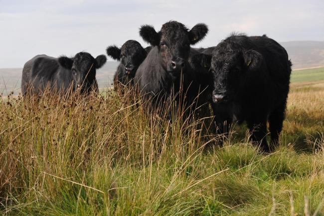 Beef produced on Welsh farms must meet strict criteria on welfare and food standards Picture: Debbie James