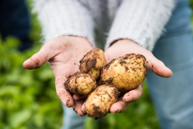 Pembrokeshire early potatoes are among Puffin produce's most iconic brands Picture: Ross Grieve