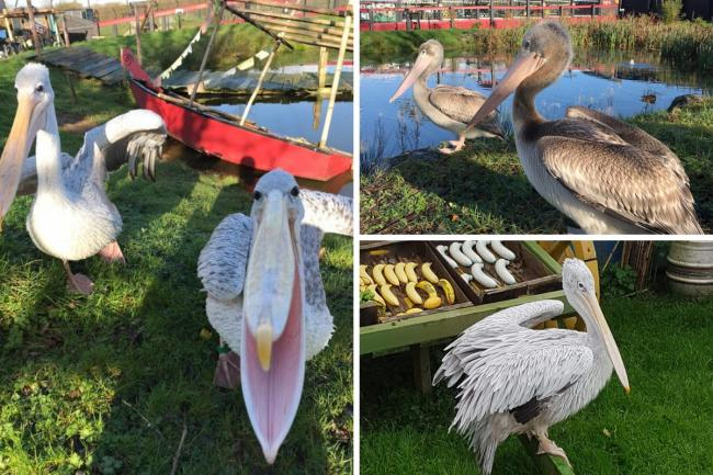 Folly Farm's pink-backed pelicans are enjoying life in their new surroundings