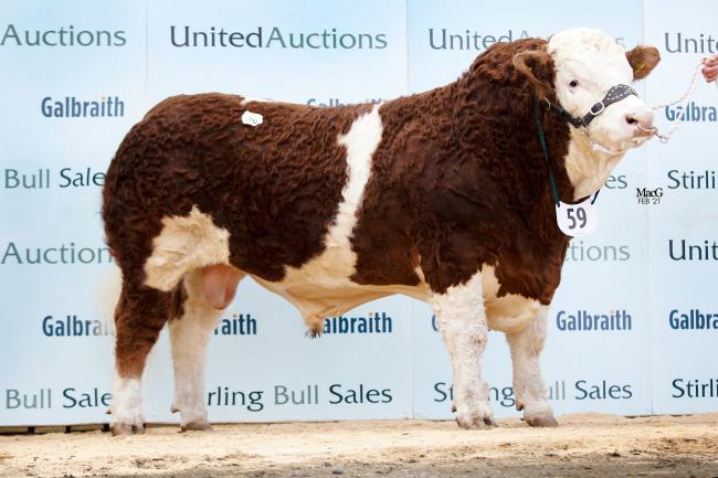 Pistyll Kingsman - at 26,000gns, arecord-setting Welsh bull