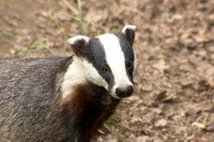 Three people have been arrested in north Pembrokeshire today (Tuesday) in connection with Welsh Assembly badger cull activity