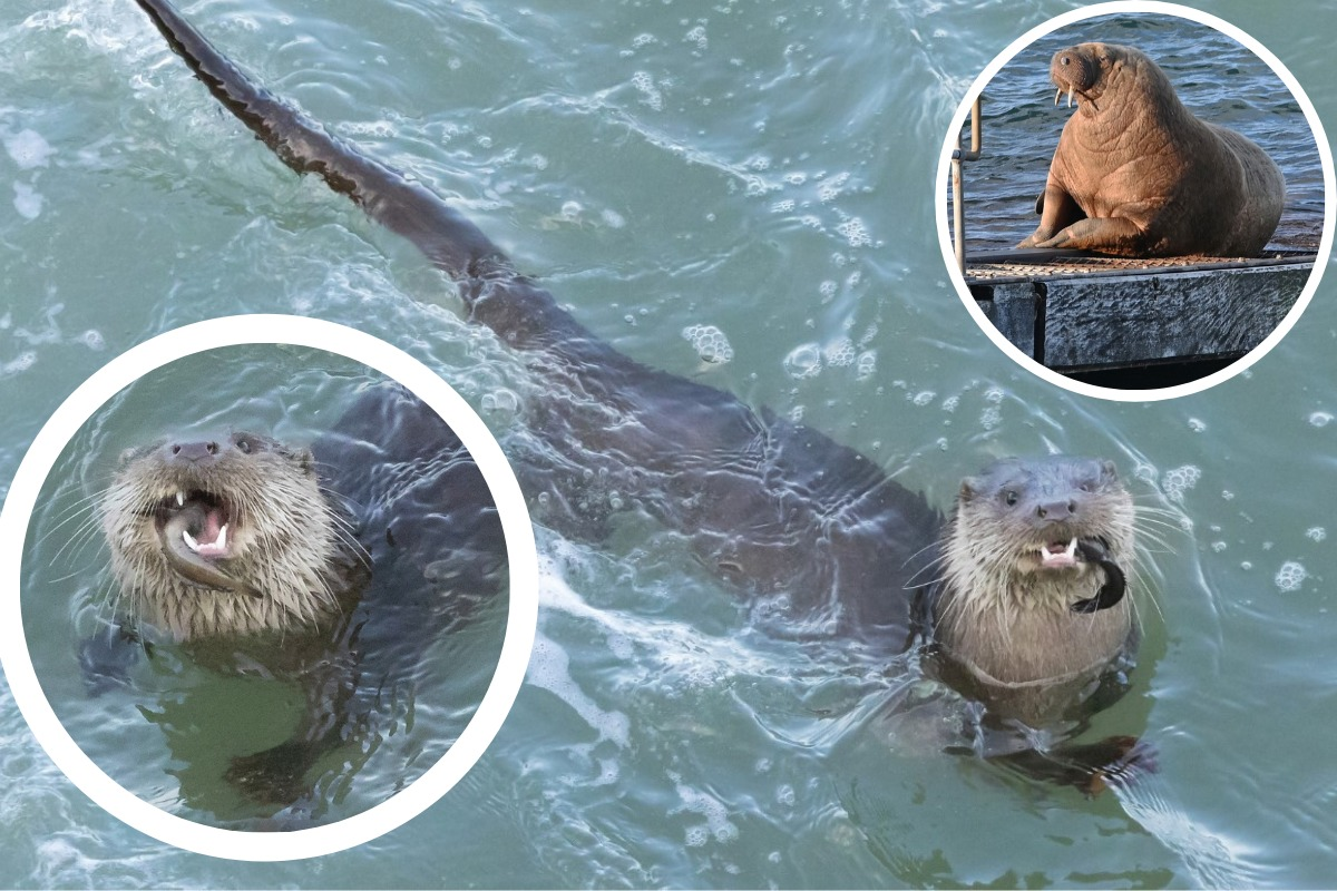 Who are these otter-ly lovely rivals for Wally the walrus?