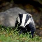Common sense on badger cull