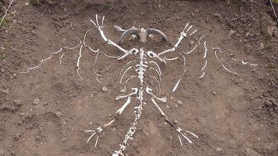 SKELETON: A 'Welsh Dragon' in the Preseli Hills