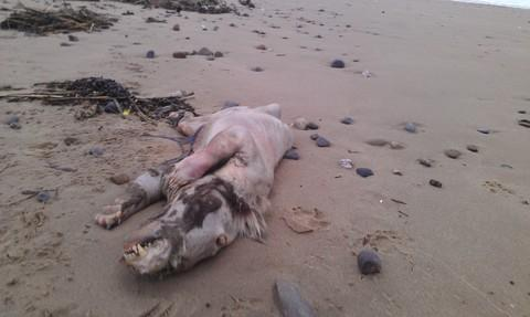 Mystery beast: Experts divided over nature of the beach beast. PIC: Peter Bailey.