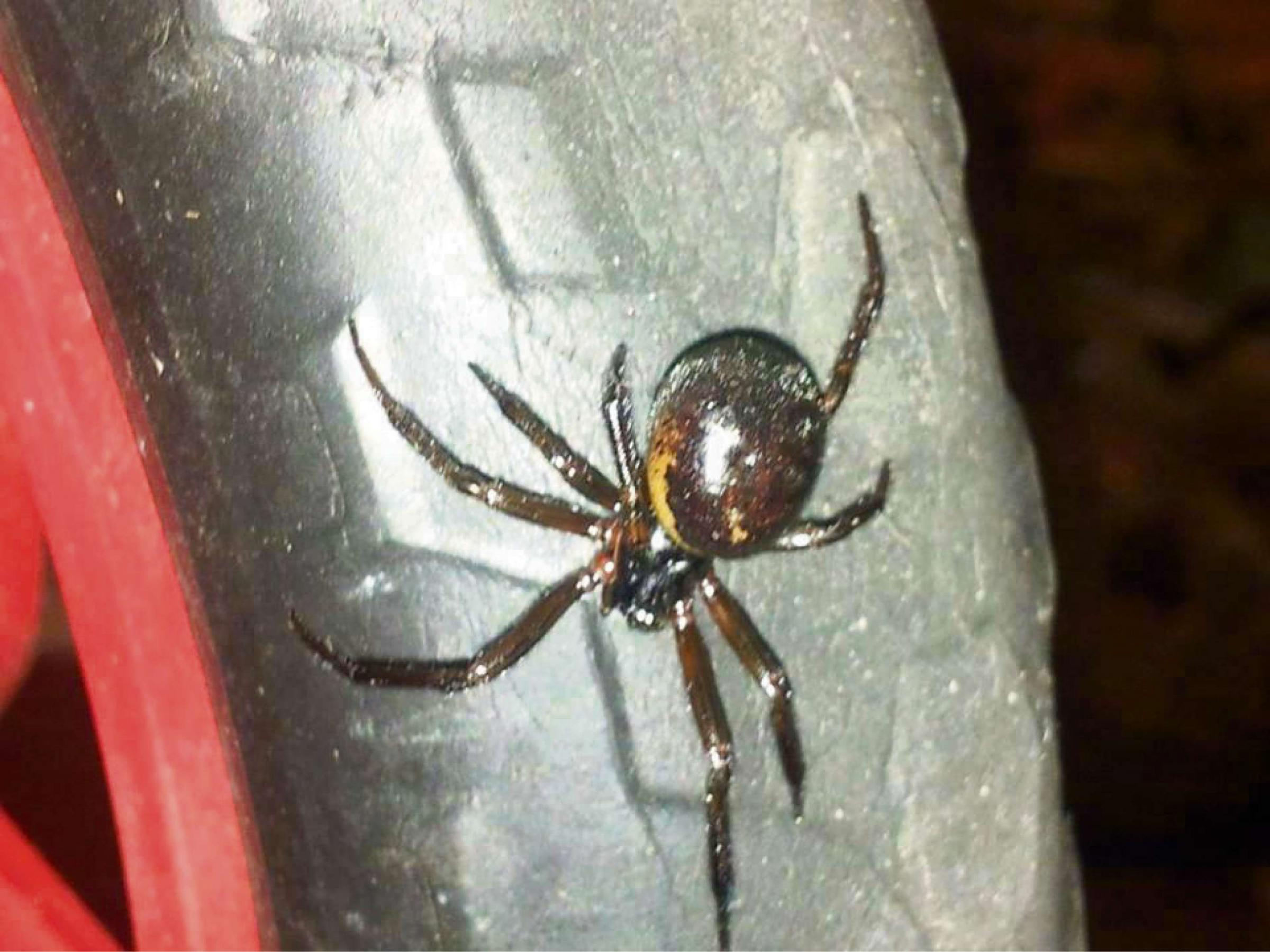 VENOMOUS: Richard took this picture before picking up the false widow spider
