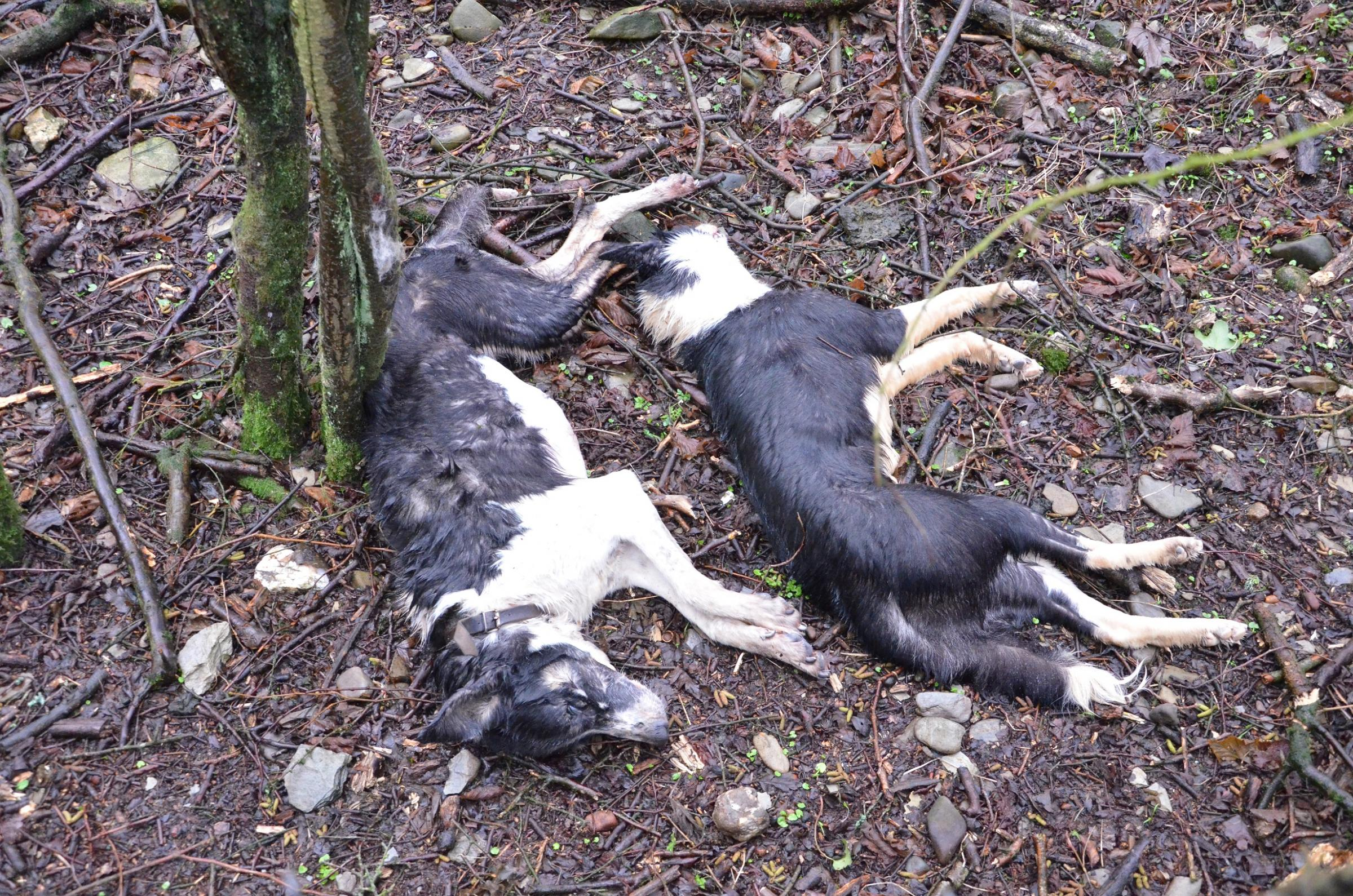 The collies were found at Crosswell. Picture: RSPCA.