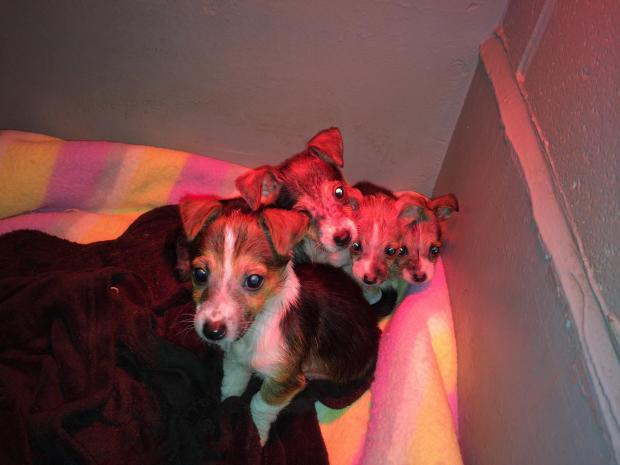 Appeal after puppies with 'chemical burns' are handed in to Haverfordwest vet
