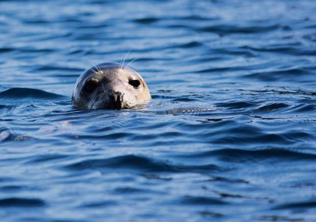 Western Telegraph: SEAL-LONG: Pembrokeshire's seals will no longer have a dedicated local hospital to help them. (4153899)
