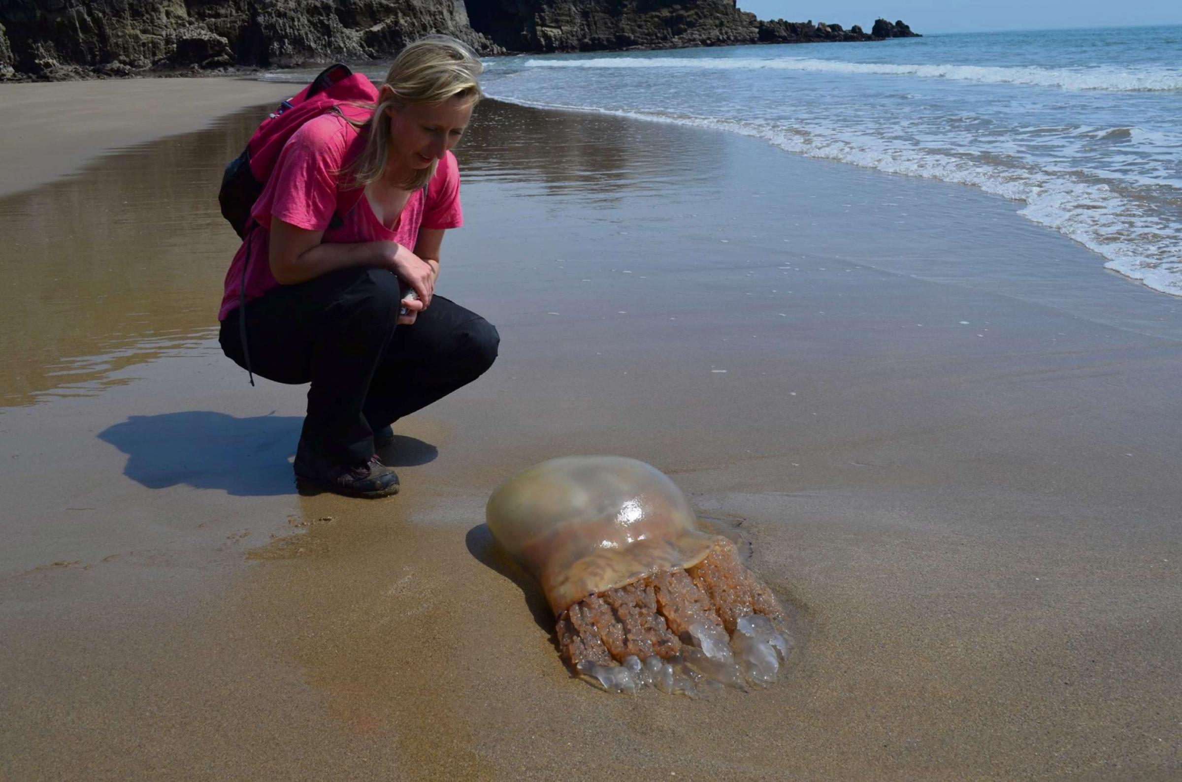 STING IN THE TAIL: Giant Jellyfish found on the beach near Lydstep Caverns. PICTURE: Gareth Davies/Hidden Pembrokeshire Facebook page.  (6347655)