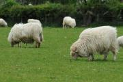 The successful applicant will care for a flock of Welsh Mountain sheepPICTURE: Debbie James