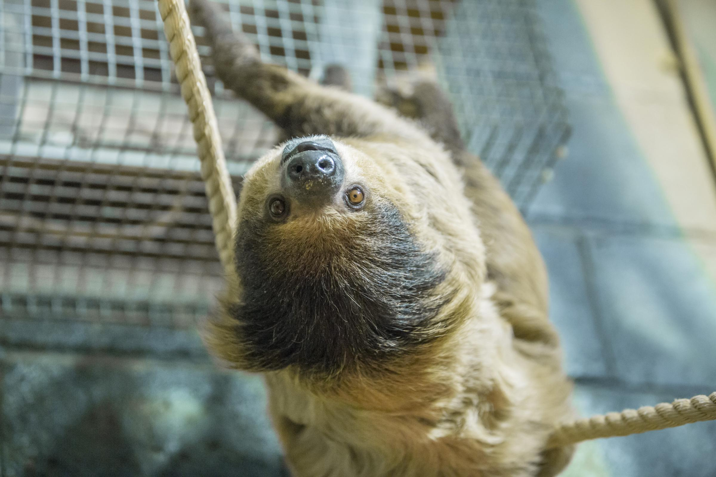 Video Tuppee The Sloth To Hang Out At Folly Farm Western Telegraph