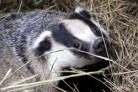 New bovine TB measures include targeted badger cull