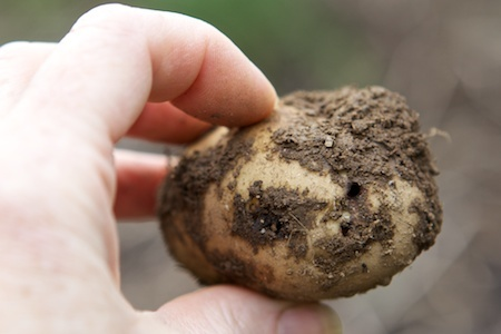 Take advice on avoiding wireworm in your potato crop