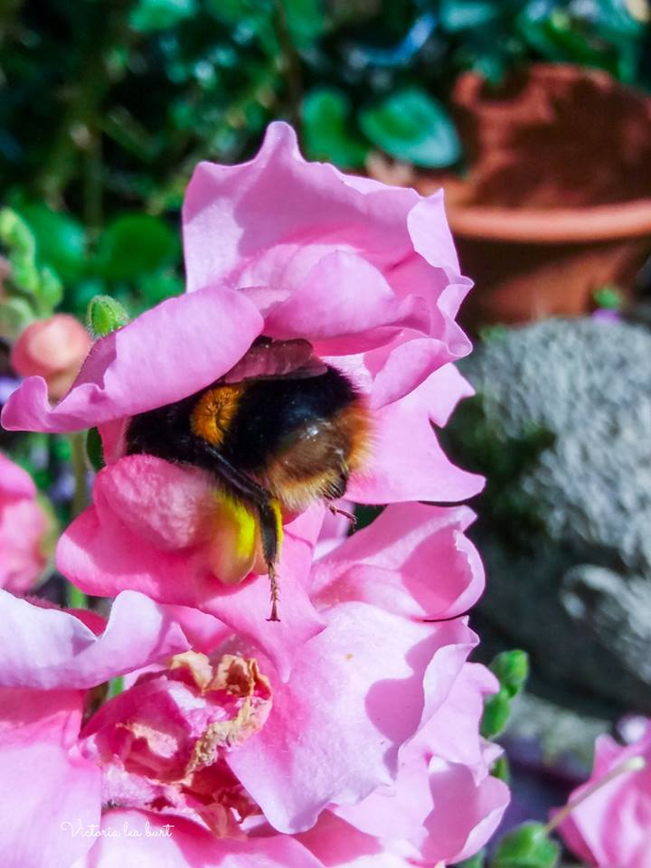 Today's Western Telegraph Camera Club Picture of the Day was taken of a bee getting stuck into the pollen