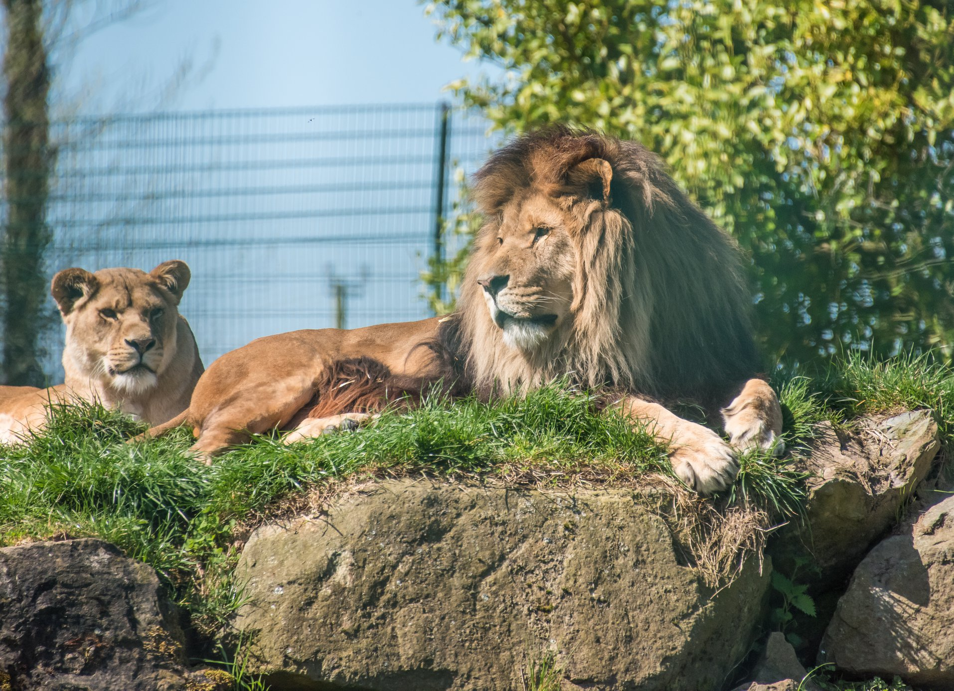 Today's Western Telegraph Camera Club Picture of the Day was taken of Hugo the lion at Folly Farm enjoying the sunshine