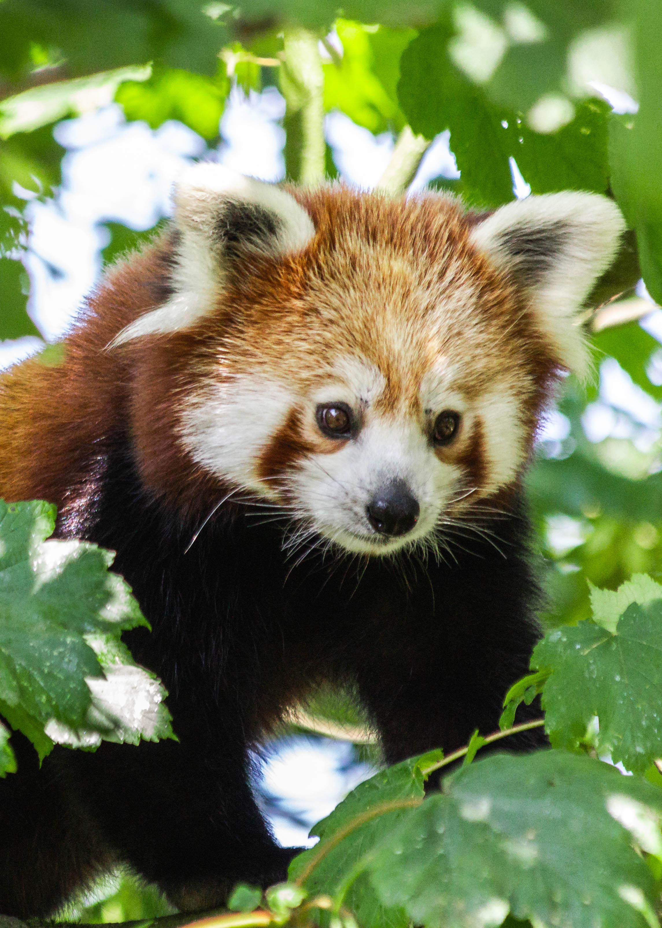 Image of: Endangered Species Red Pandas Go On Show At Manor Wildlife Park Western Telegraph Red Pandas Go On Show At Manor Wildlife Park Western Telegraph