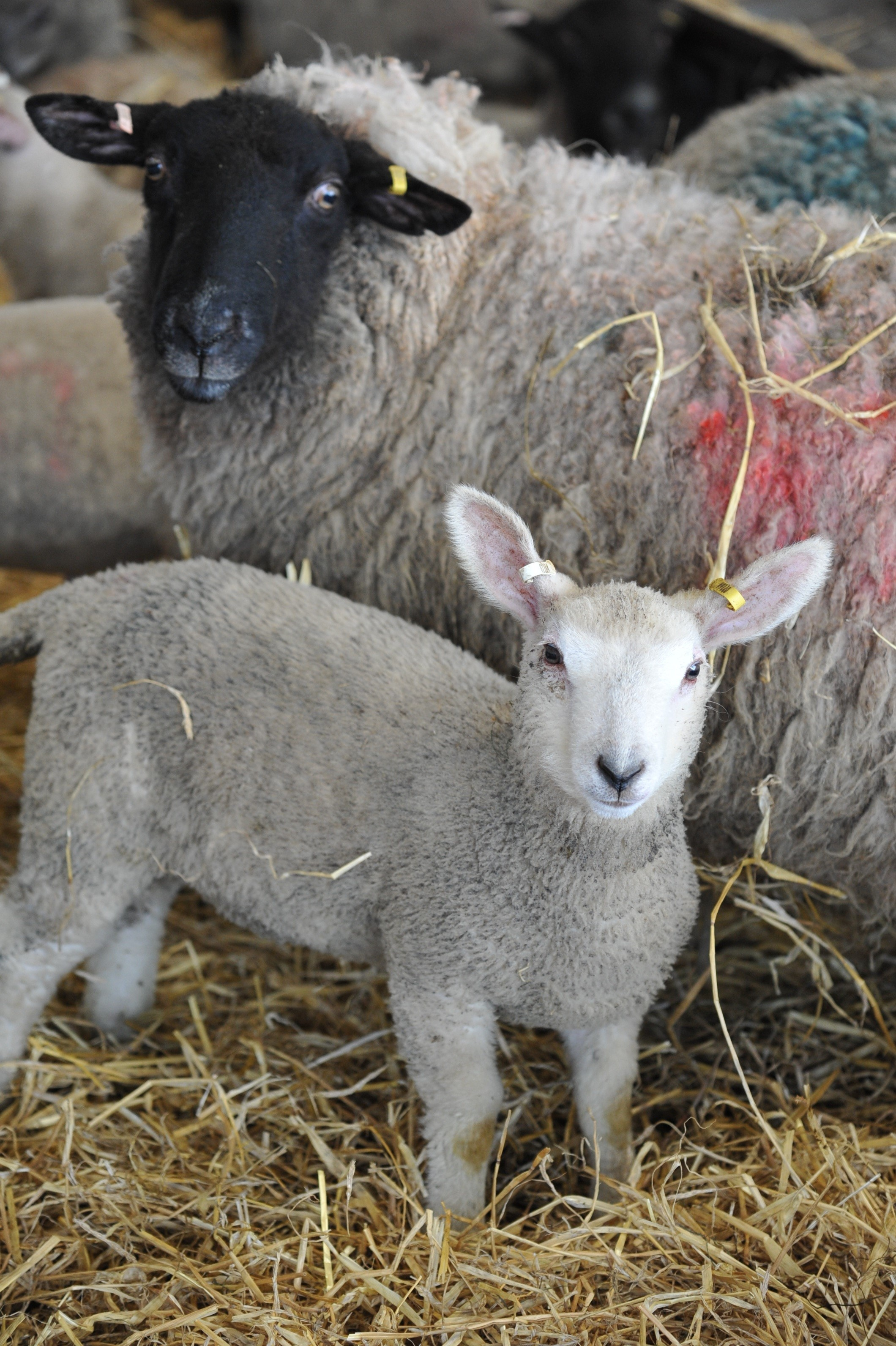 The new system will be based on the existing EIDCymru for recording sheep movements PICTURE: Debbie James