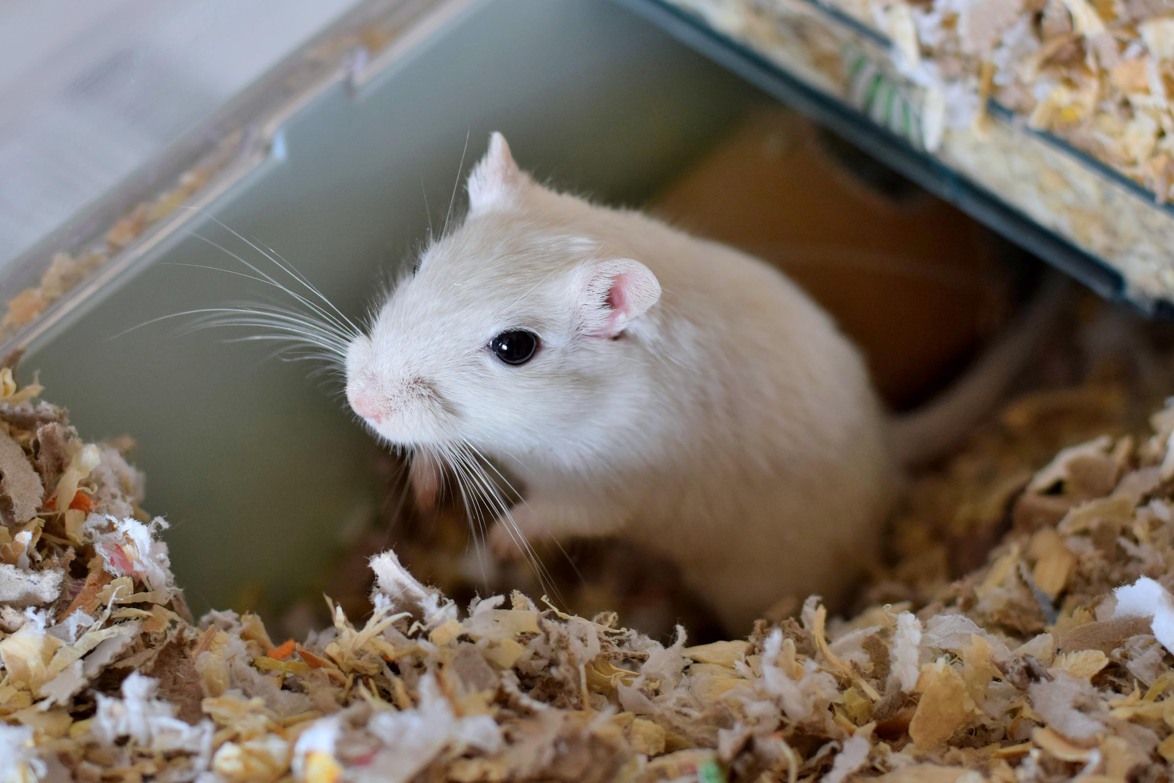 A white gerbil in a cage