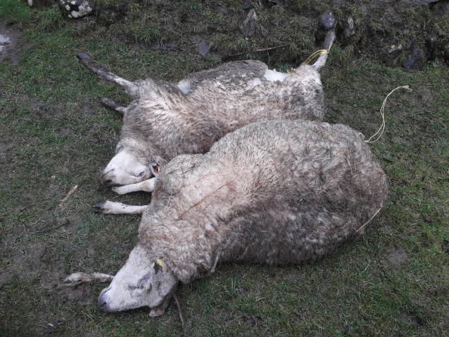 Two sheep and their unborn lambs died after the ewes were chased by a dog near Fishguard.
