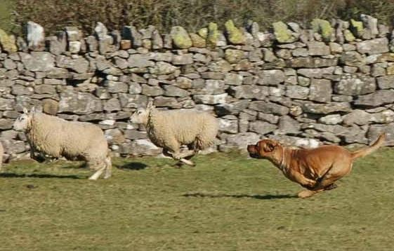 A second dog attack on sheep has taken place in the Cardigan area with around 20 lambs killed