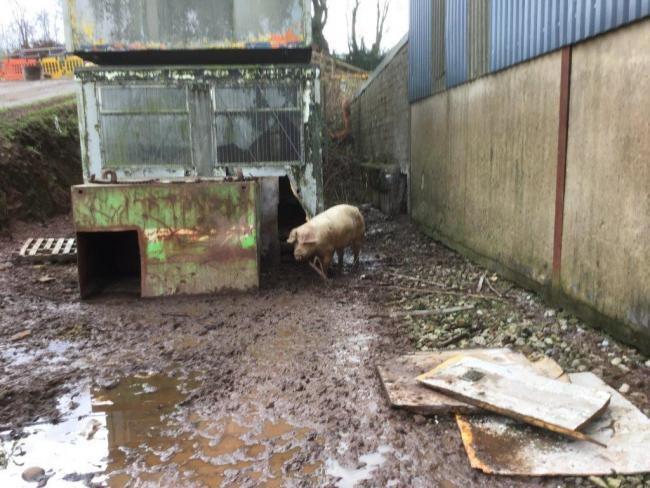 There could be light at the end of the tunnel for the pigs rescued from Bramble Hall Farm.