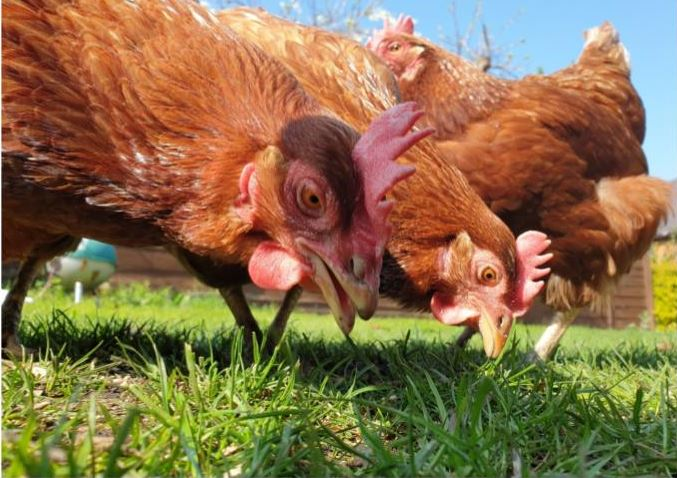 The British Hen Welfare Trust is rehoming  240 hens in Boncath day on Easter Sunday, 21 April.