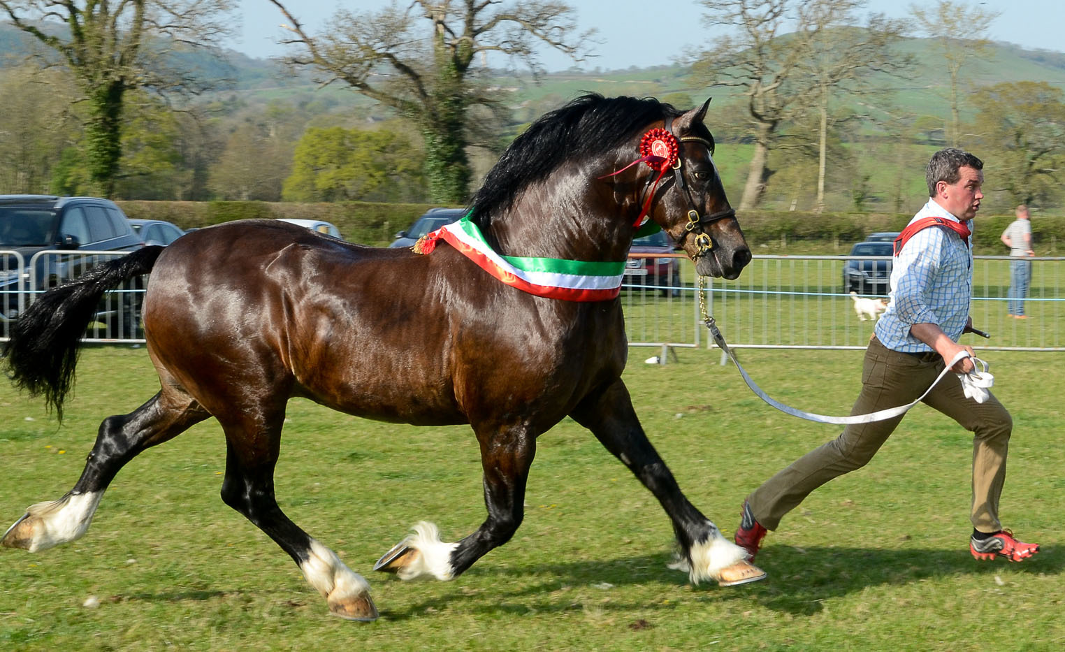 Supreme Champion at Lampeter Stallion Show was Gwynfaes Seren Wledig owned by M, D, & C Evans, Cynwyl Elfed c/o Dorian Lloyd, Llanfechain