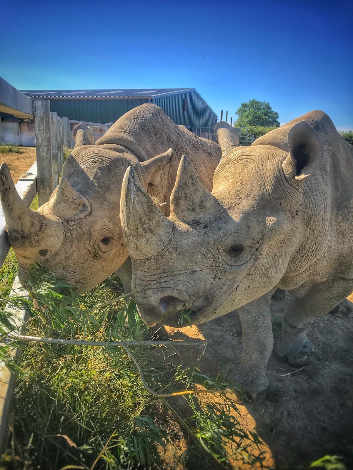 Folly Farm rhino's ultrasound scan on video